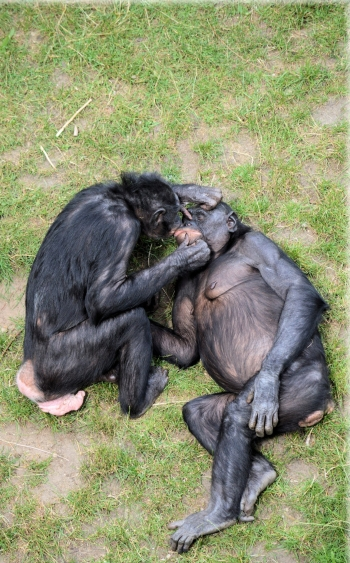 love-monkey-bonobo-11